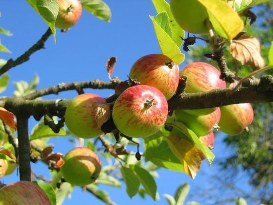 Суперинтенсивные сады наСтаврополье наполовину увеличат урожай фруктов